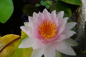 睡蓮が綺麗に咲いた