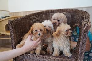 トイプードルの家族写真