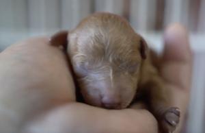 トイプードルの赤ちゃん出産.png